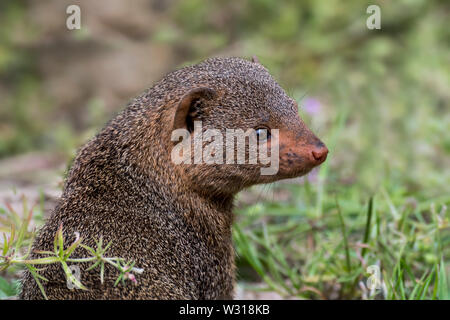 Common dwarf mongoose (Helogale parvula) close-up portrait, native to East and southern Central Africa - Stock Photo