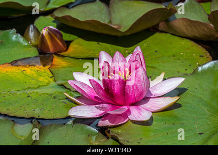 Pink cultivar of Nymphaea / water lily in flower in pond