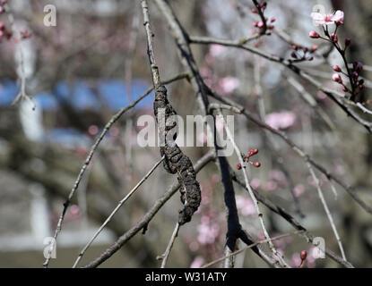 Black Knot Fungus, Dibotryon morbosum or Apiosporina morbosa, on flowering plum tree - Stock Photo