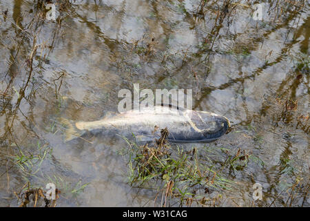 Dead marble carp on the banks of the River Elbe near Magdeburg