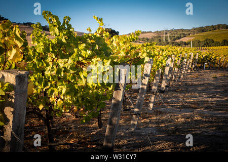 A vineyard in central California - Stock Photo