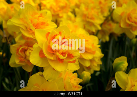 Detail of a yellow tulip in full bloom - Stock Photo