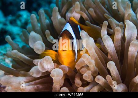 Red Sea anemonefish (Amphiprion bicinctus) in a Bubble anemone (Entacmaea quadricolor) close up.