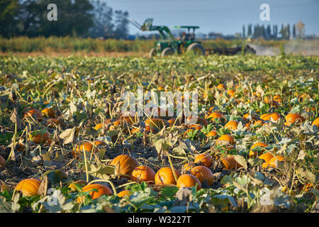 Ripe Pumpkins in the Field. Pumpkins growing on the farm ready for harvest. - Stock Photo