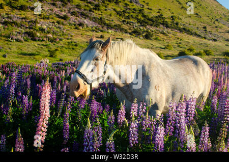 Horse in lupins - Stock Photo