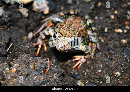 Earthen frog sits on the ground and looking at the camera. Close-up. - Stock Photo