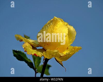 Macro of a yellow rose in front of blue sky - Stock Photo