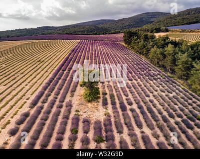 Lavender field summer sunset landscape near Valensole. Provence, France - Stock Photo