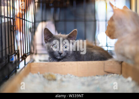Closeup portrait of two gray and ginger kittens, domestic stray abandoned cats in cage shelter waiting for adoption behind bars - Stock Photo