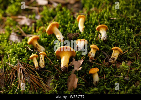 Chanterelle mushrooms on green forest moss. Bright mushrooms in the summer forest. Close-up. - Stock Photo