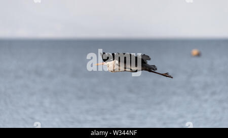 A Grey Heron in flight above the Glencairn shoreline on South Africa's False Bay coastline, near Cape Town - Stock Photo