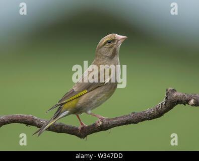 Green finch, Carduelis chloris, on a branch, Lancashire, UK - Stock Photo