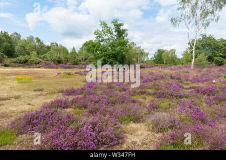 Heathland landscape at Broxhead Common in Hampshire UK, in July with flowering bell heather (Erica cinerea) - Stock Photo