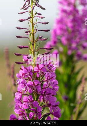 Flower spike of Rosebay Willowherb (Chamaenerion angustifolium) also known as Fireweed as it commonly flourishes after a fire - Stock Photo
