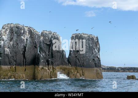 Farne Islands, Northumbrian Coast. UK. Sea, sea birds, puffins and lighthouse - Stock Photo