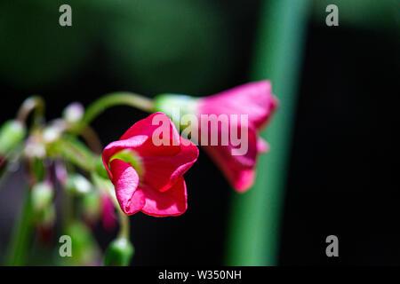 The flowers of an Oxalis tetraphylla 'Iron Cross' - Stock Photo