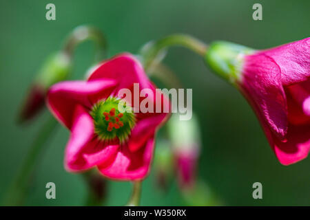 The flowers of an Oxalis tetraphylla 'Iron Cross' - Stock Photo
