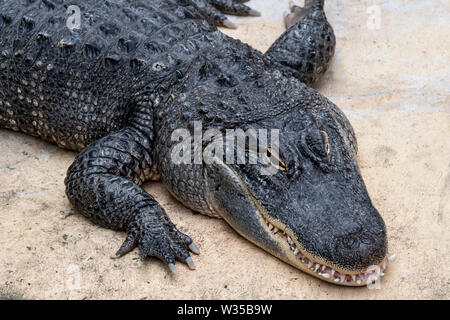 American alligator / gator / common alligator (Alligator mississippiensis) endemic to the Southeastern United States - Stock Photo