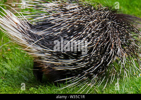 Crested porcupine (Hystrix cristata) showing backside with spiny quills, native to Italy, North Africa and sub-Saharan Africa - Stock Photo