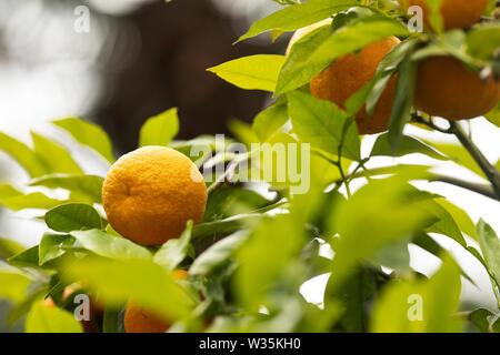 Bitter orange, also known as Seville orange, sour orange, bigarade orange, or marmalade orange (Citrus × aurantium) growing on a tree branch. - Stock Photo