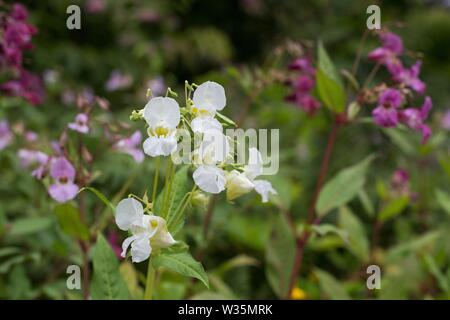 Impatiens glandulifera 'Himalayan Balsam' flowers. Stock Photo
