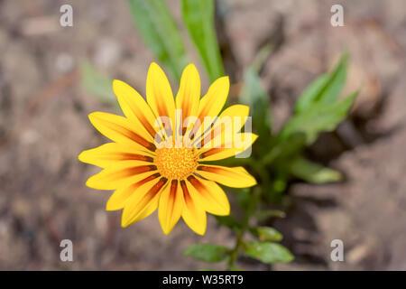 Yellow Gazania or Treasure flower in full bloom. - Stock Photo