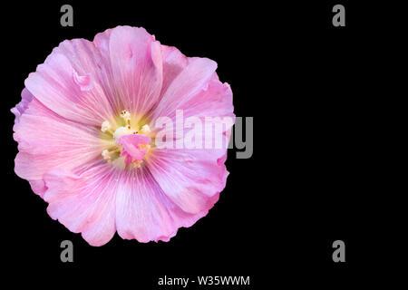 Common Hollyhock flower - Stock Photo