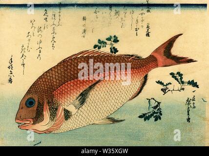 Madai 真鯛 (Red Seabream) Utagawa Hiroshige Japanese woodblock print from the series Uozukushi (Every Variety of Fish) circa 1830s or 1840s - Stock Photo