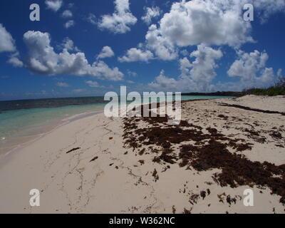 Sargassum seaweed at the high tide mark, Shoal Bay Point, Anguilla, BWI. - Stock Photo