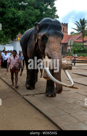A ceremonial elephant with its mahout carries a bamboo log through the Temple of the Sacred Tooth Relic complex at Kandy in Sri Lanka.