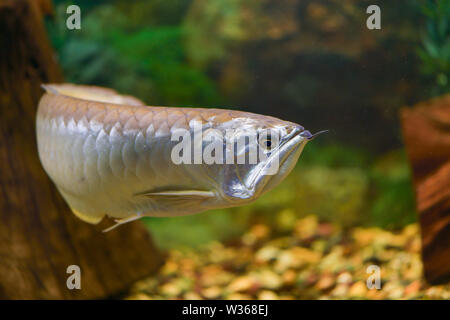 Big silver Arovana fish swims alone in a tank. Horizontal photography - Stock Photo