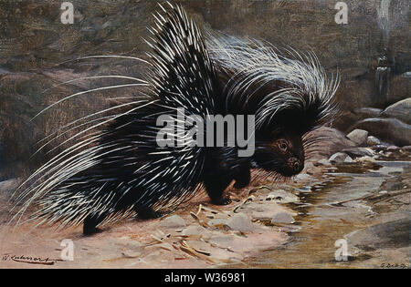 A crested porcupine. Colour lithograph after W. Kuhnert. - Stock Photo