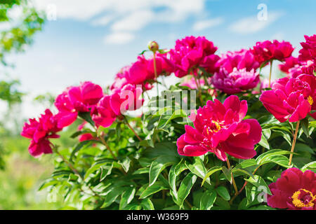 Pink peonies bush in the garden against the blue sky. Fresh flowers background. Horizontal - Stock Photo