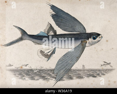 A flying fish shown flying over water. Coloured lithograph by R. Bridgens. - Stock Photo