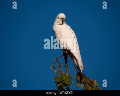 Sulphur-crested Cockatoo, Cacatua galerita, perched in a tree with blue sky background near Dubbo New South Wales, Australia - Stock Photo