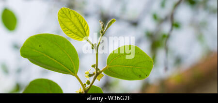 close up of ziziphus jujube leaves with blurred background. - Stock Photo