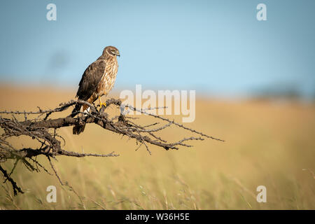 African marsh harrier perched on dead branch - Stock Photo