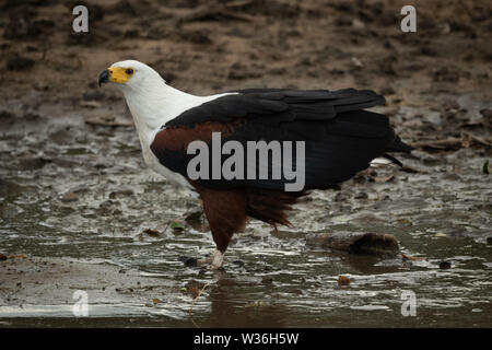 African fish eagle stands in muddy shallows - Stock Photo