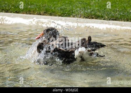 Kanadische Gans, Ente planscht im Wasser und erfrischt sich bei der großen Hitze - Stock Photo