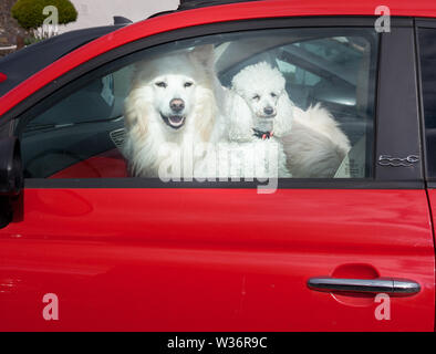 Kinsale, Cork, Ireland. 12th July, 2019.  Two dogs sit in the passenger seat of their owners car keeping an eye on activities in their surroundings. - Stock Photo