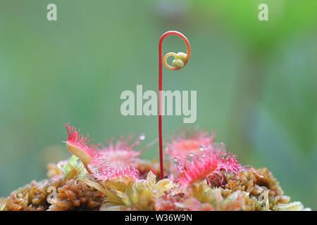 Common Sundew, Drosera rotundifolia, a carnivorous plant from Finland Stock Photo