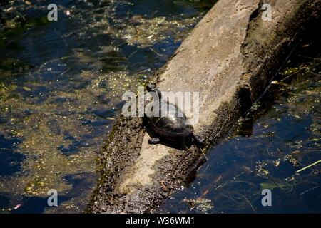 a closeup shot from a painted turtle resting on a branch in water - Stock Photo