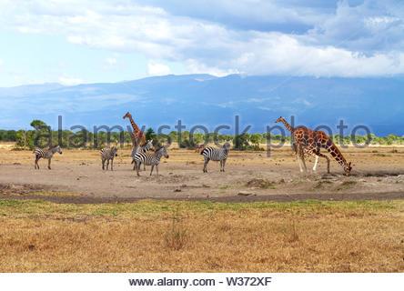 Three reticulated giraffe Giraffa camelopardalis reticulata three zebra zebras queue to drink water at waterhole Sweetwaters Ol Pejeta Conservancy - Stock Photo