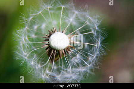 withered dandelion with white seeds - Stock Photo