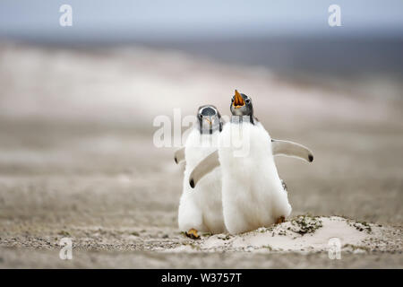 Close up of two young Gentoo penguins chasing each other, summer in the Falkland Islands. - Stock Photo