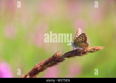Butterfly of Silver-studded blue sitting on dry blade close up in sunny day. Summer insect. Sun rays shine on small butterfly sitting on blade of gras - Stock Photo