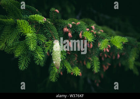 Green spruce branch with needles and cone covered resin drops - Stock Photo