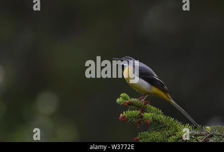 Grey wagtail ( Motacilla cinerea) - Stock Photo