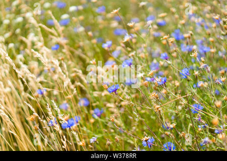 field of blue cornflower (Centaurea cyanus) and wheat, Lithuania - Stock Photo