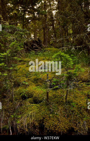 Lush undergrowth in the forest of southern British Columbia in the Cariboo region. Taken at 4:14 PM - Stock Photo